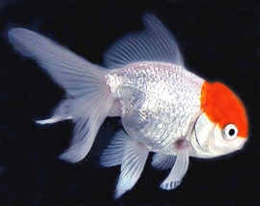 japon baligi 1 Japon Balıkları
