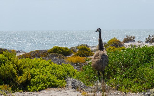 Emu at the beach, Innes National Park