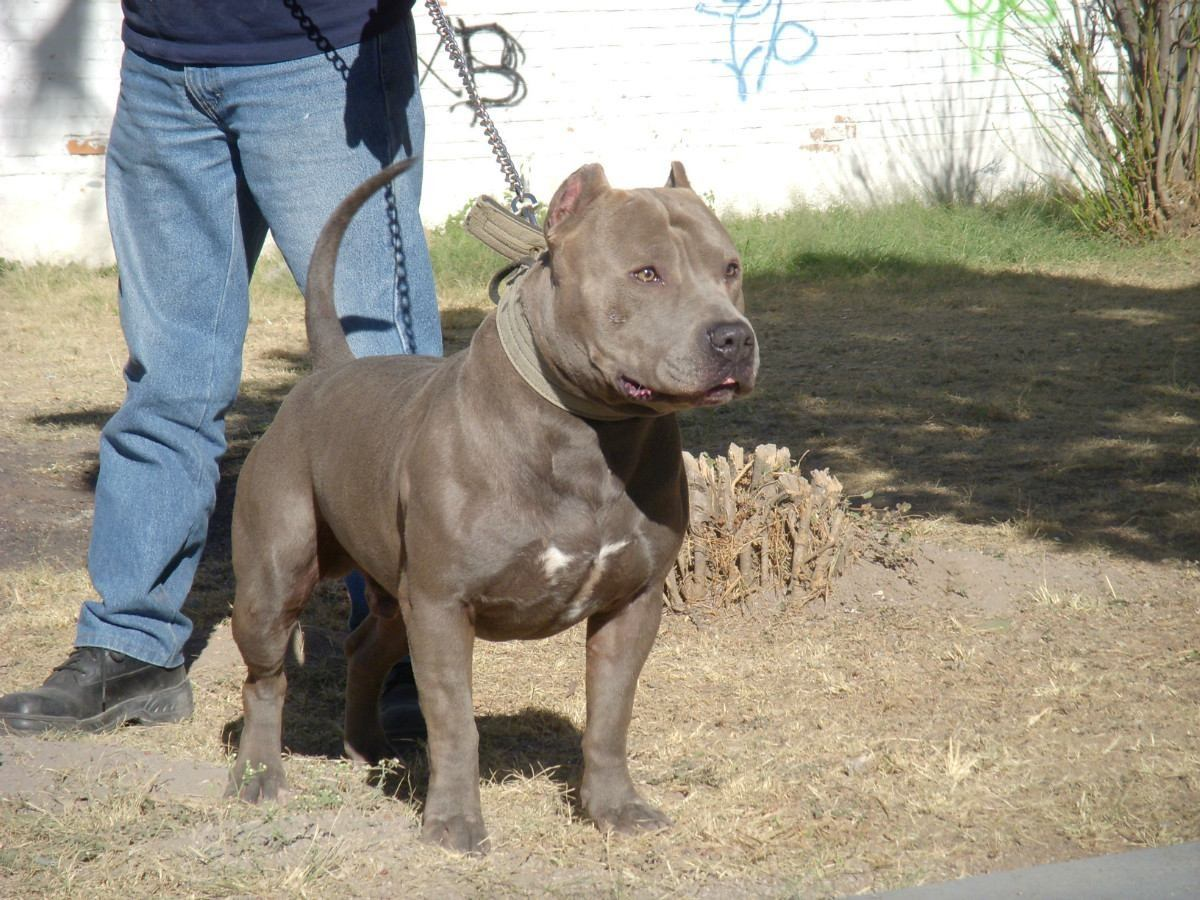 american pit bull Quotes