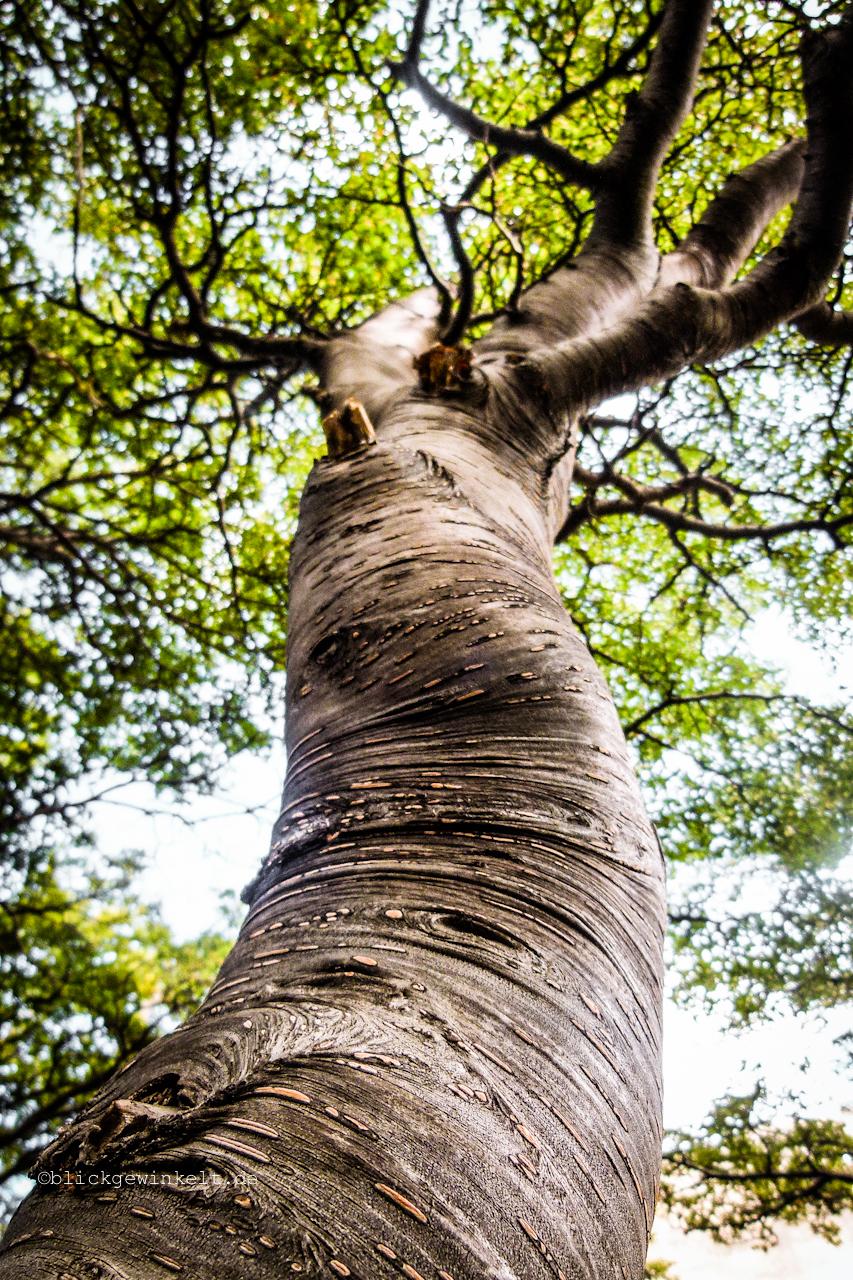 Dicker Baumstamm einer Südbuche