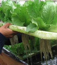 cultivo hidropnico en espacios reducidos