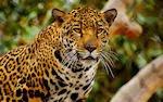 Leopardo a la moda (Grandes Felinos de la Sabana)