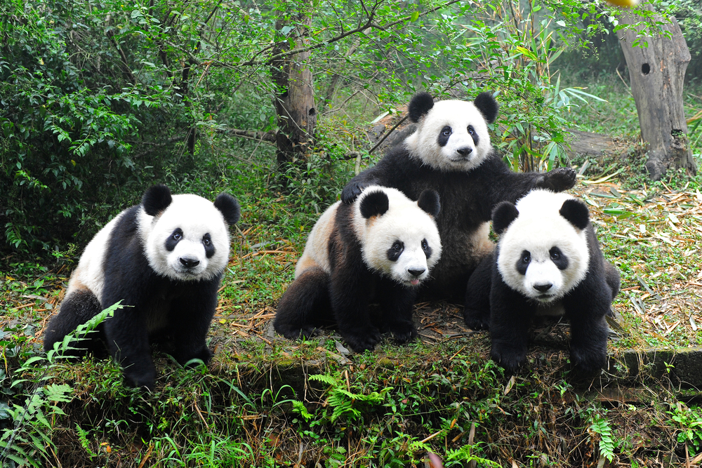 All About Animal Wildlife: Giant Panda Information and Images Cute Cheetah Cubs