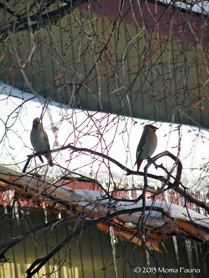 Bohemian Waxwings (Bombycilla garrulus) waiting. Alaska's February birds.