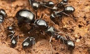 keluarga semut