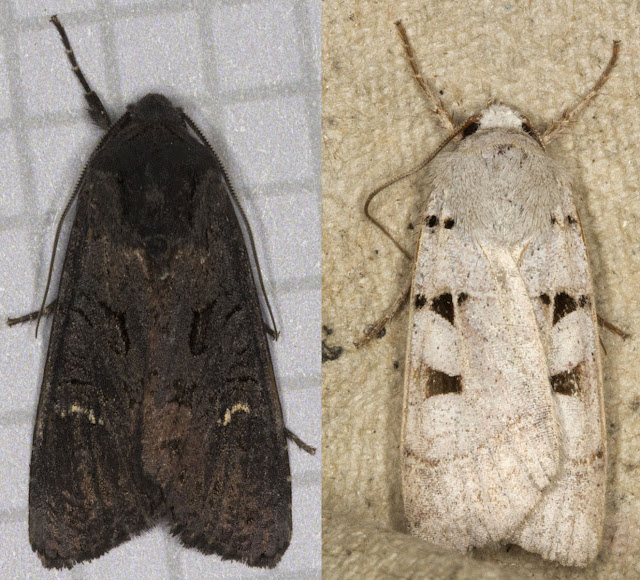 Black Rustic, Aporophyla nigra (left) and Autumnal Rustic, Eugnorisma glareosa (right)  Noctuids.  Moth trap at Farthing Downs with Gill Peachey, 4 October 2011.