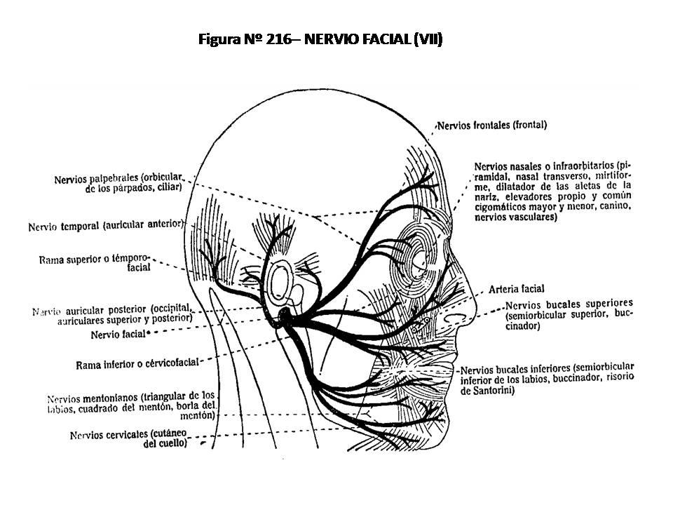 ATLAS DE ANATOMÍA HUMANA: 216. NERVIO FACIAL (VII).