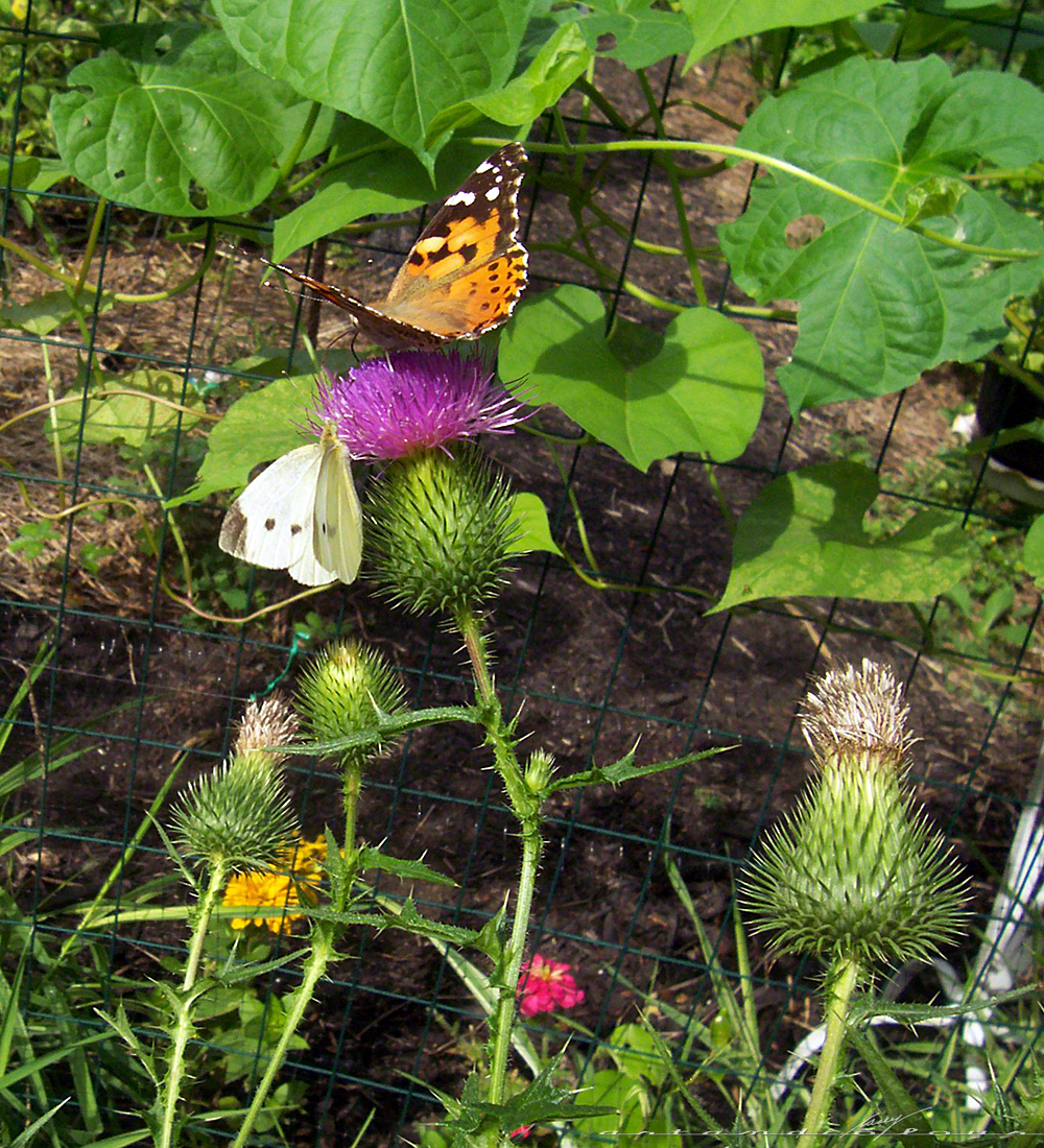 Dueling Butterflies! My Thistles Must Have Been Particularly Fragrant This  Morning. There Were Two Or Three Butterflies Competing For The Same Flowers!