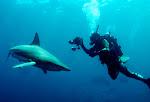 Mergulho com Tubarões no Shark Feeding