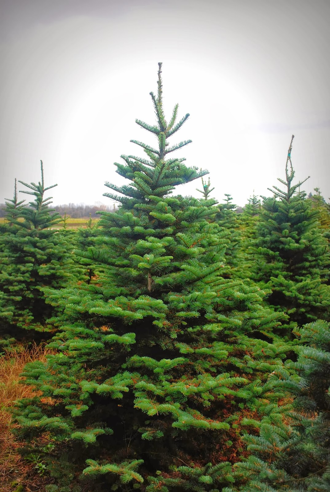 2013 U Cut Christmas Trees