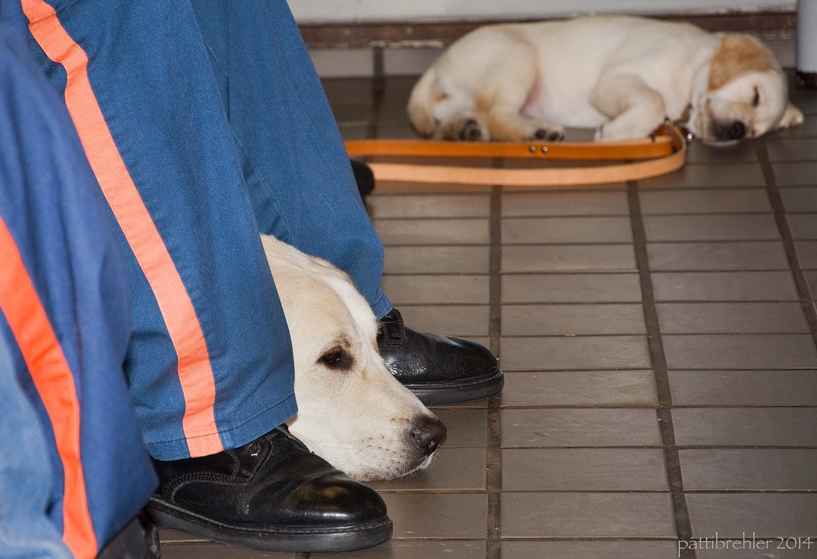 A low-level shot of a small yellow lab in the distance, a bit out of focus. He is laying on his left side, asleep, with his brown leather leash on the floor in front of him. On the left side of the picture is the face of a larger yellow lab peeking out between inmates legs. They are wearing the blue prison pants with an orange stripe on the side.