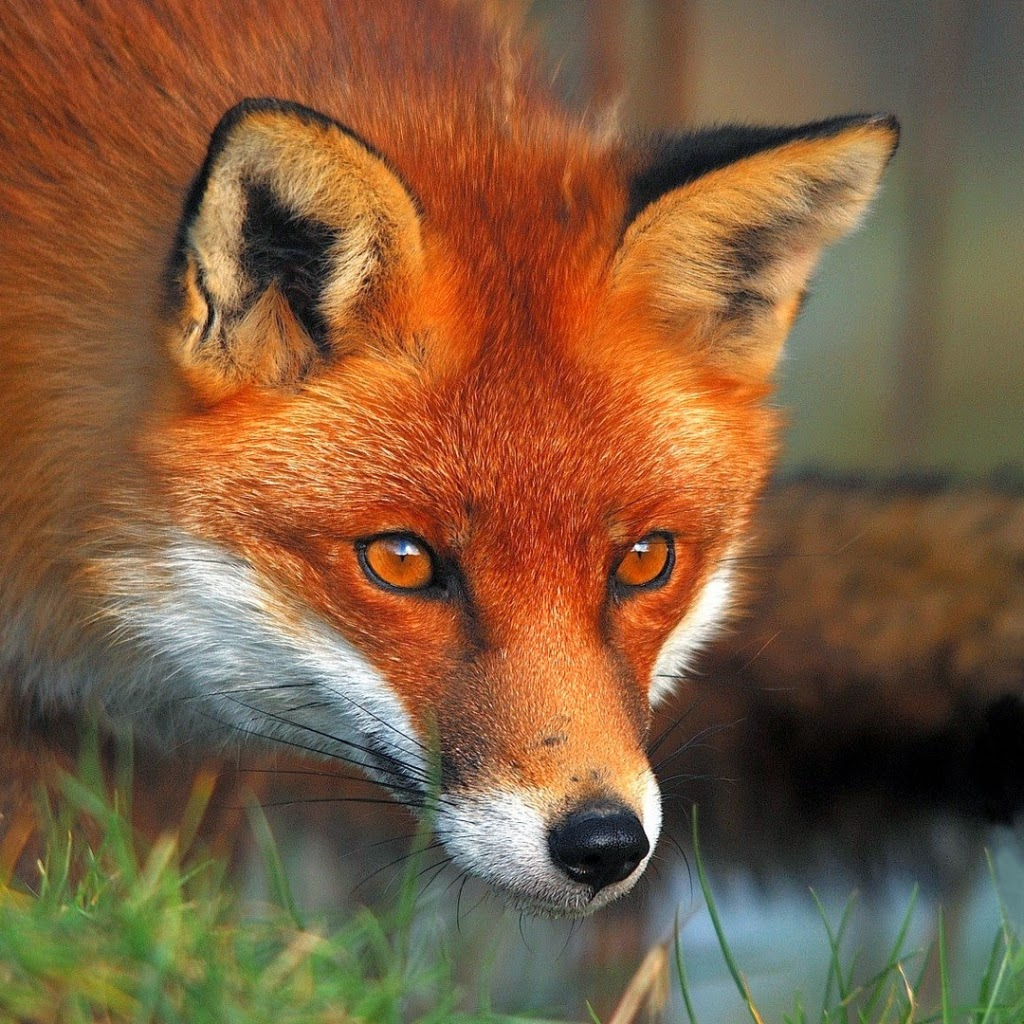 Foxecology May 2014