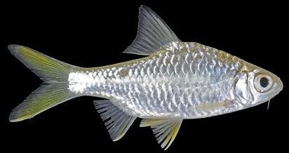 Cara Membuat Umpan Jitu,Cara Jitu Memancing Ikan,Rawa dan Sungai,Wader, Kepek,Kepekan,Ikan Kepek, Macam-macam Teknik Mancing, Mancing Ikan Kepek, resep umpan, ampuh, rahasia umpan, Jeis Tawes Kepek,