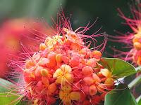 Manfaat Bunga Asoka Untuk Kesehatan Tubuh