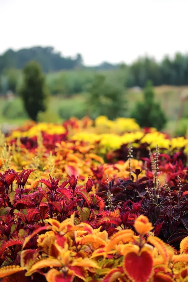 November Kissed ~ Photo by ChatterBlossom #nature #color #plants