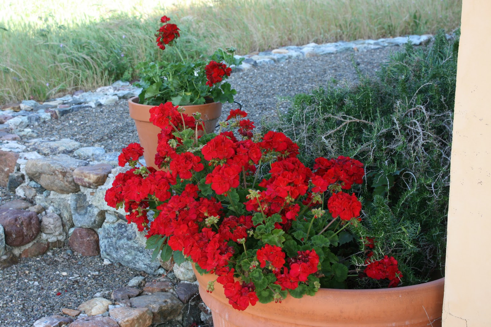 Цветы калачики фото и уход
