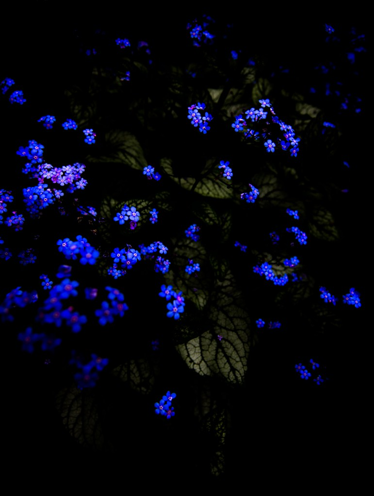 Black and blue flowers along the danube matthew g beall matthew g beall flowers and leaves 2 2012 dhlflorist Images