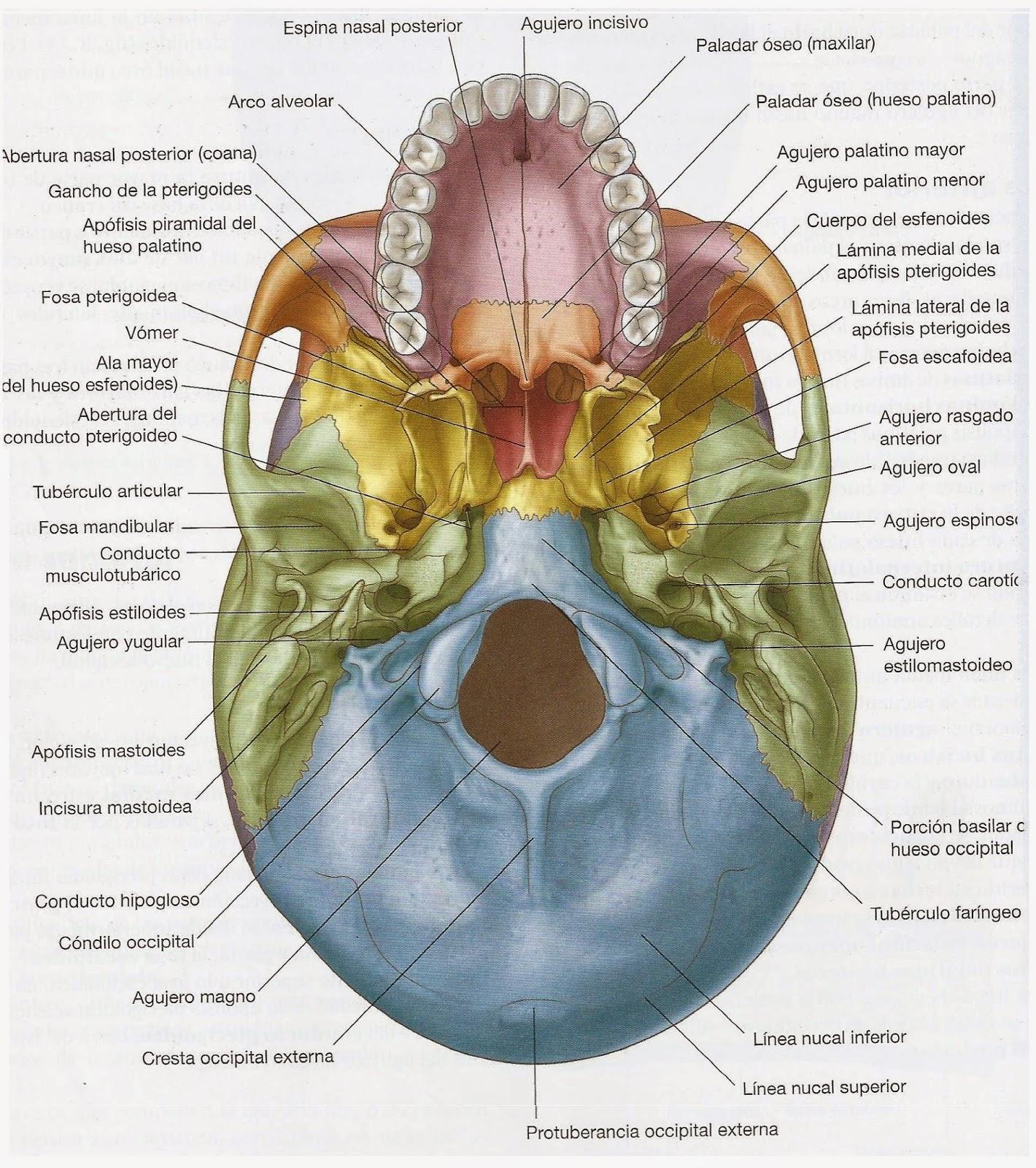 Bonito Anatomía Cráneo Inferiores Molde - Anatomía de Las ...