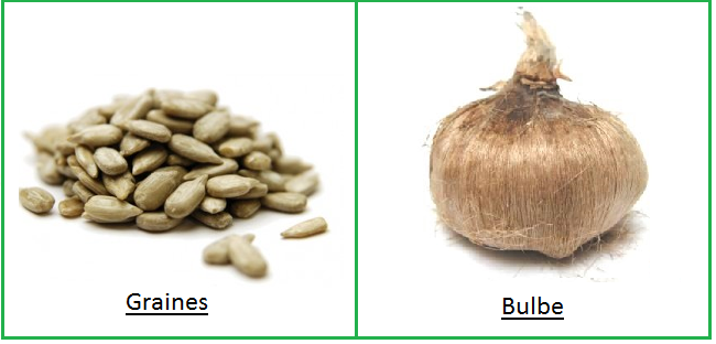 bulbe et graine