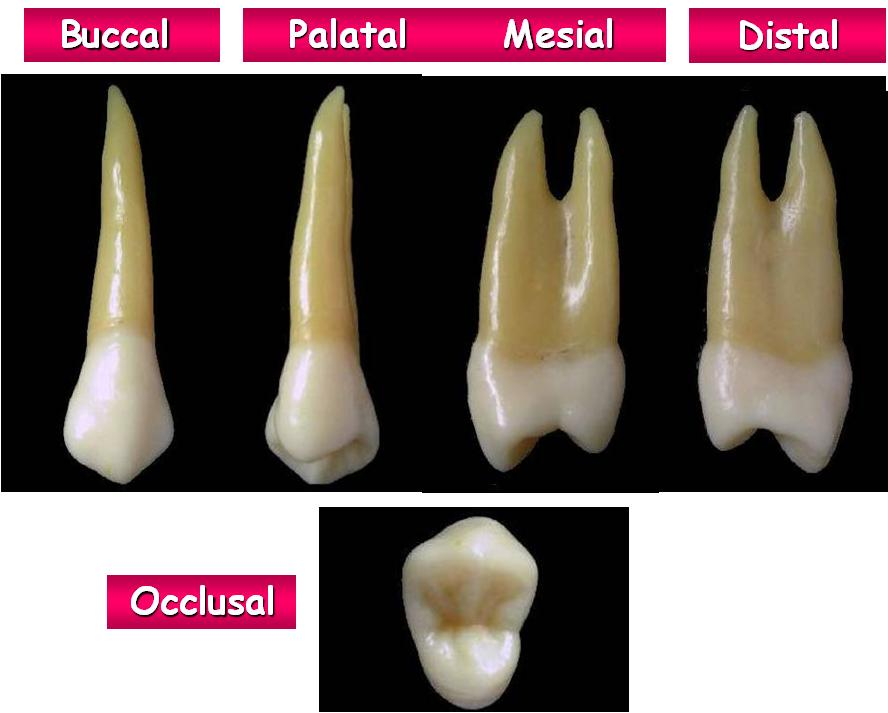 tooth morphology Illustrates tooth morphology and discusses its relationship to endodontic  procedures a thorough understanding of the complexity of the root canal system  is.