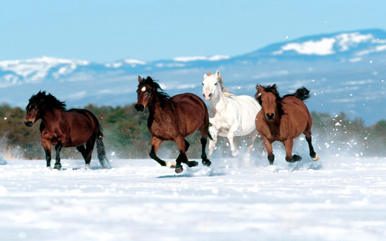 White Horse Running in Snow