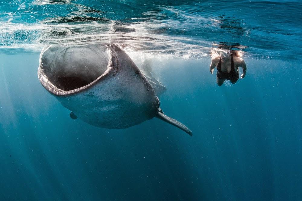 Модель плавает с китовыми акулами.Фото