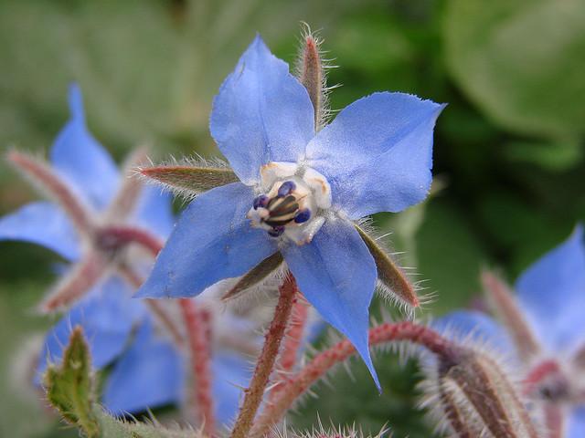 flor de borago
