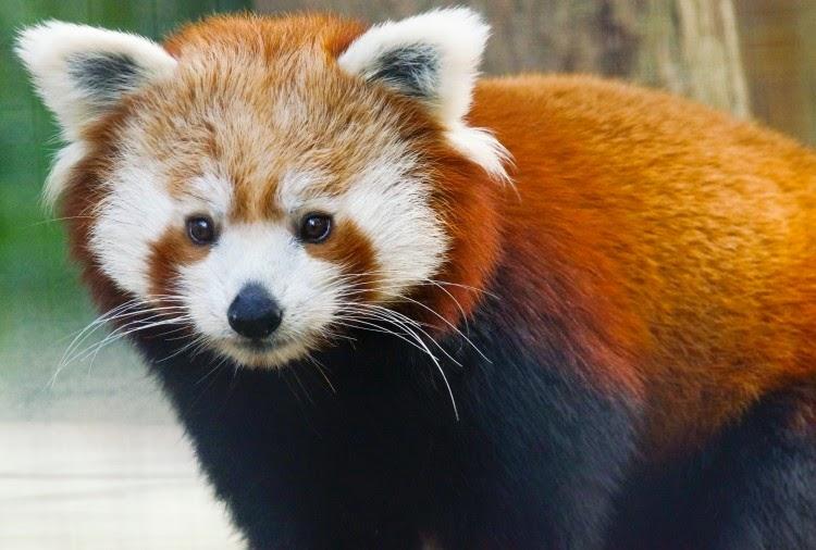 see more Red Panda