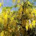 Cássias-amarelas vestem Goiânia