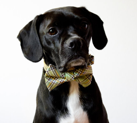 Jdm Dog Collar