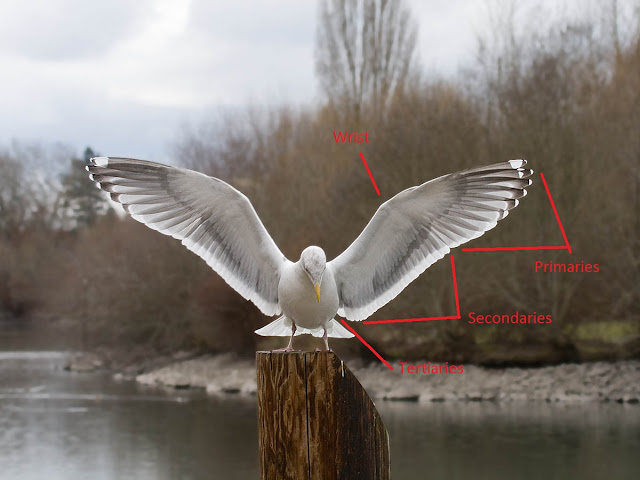 Figure 2: Most gulls, like this Western Gull, have 10 primaries, 24 secondaries, and a few true tertials.