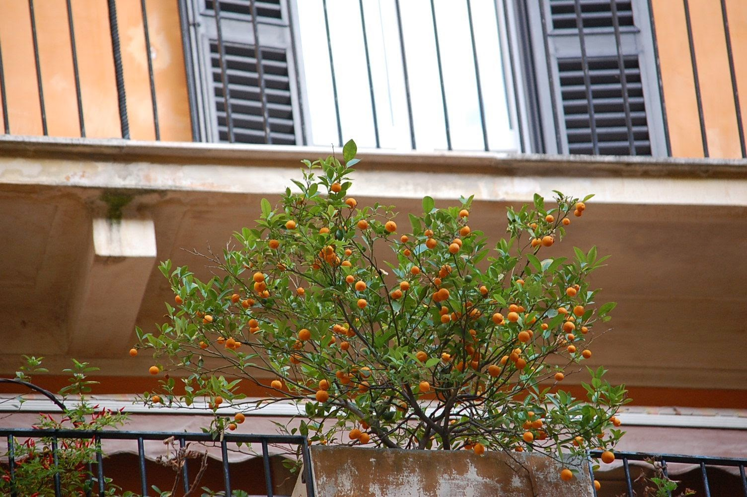 orange trees rome italy