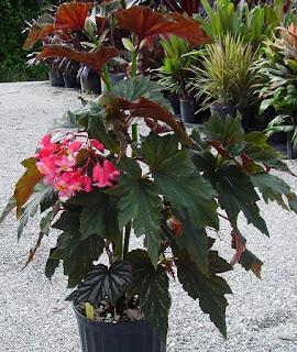 Jardineria, Catalogo de Plantas: Begonia coccínea