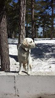 Χάθηκε στην περιοχή Μενοικο, Λευκωσίας στις 21/11/2015 αρσενικό σκυλάκι που ακούει στο όνομα Πελέ.
