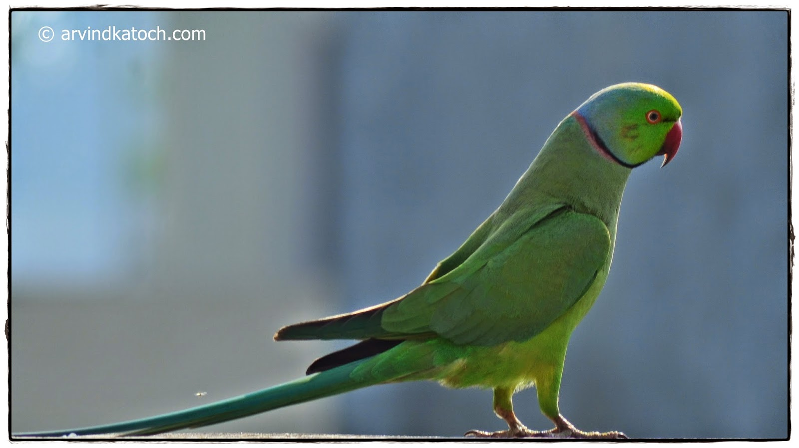 Indian Ring Head Parrot