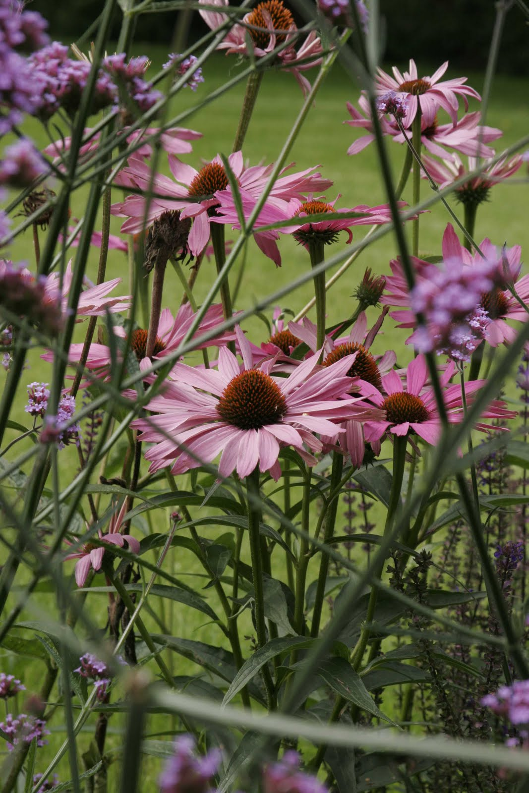 greencube garden and landscape design uk looking good in september echinacea purpurea 39 white. Black Bedroom Furniture Sets. Home Design Ideas