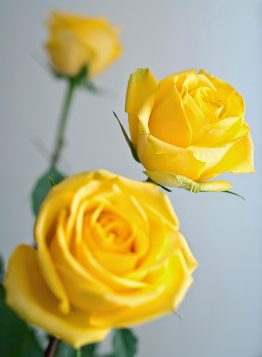 Yellow roses yellow roses indicate friendship and freedom so