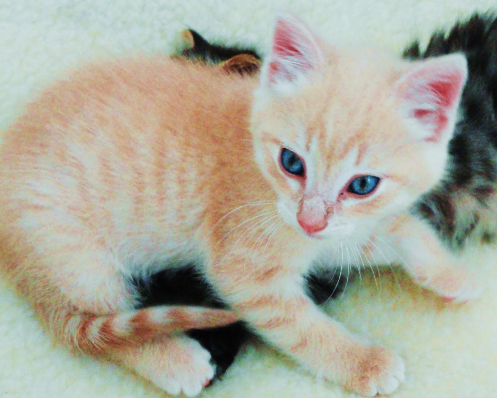 Cat Adoption Santa Monica