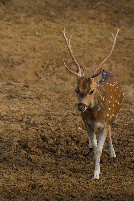 A Photograph of a Spotted Deer taken in Yala, Sri Lanka
