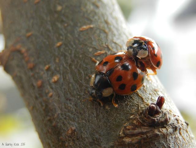 Copulating Ladybirds