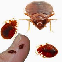 Los insectos de cama son peligrosos - Pulgas en casa sin animales ...