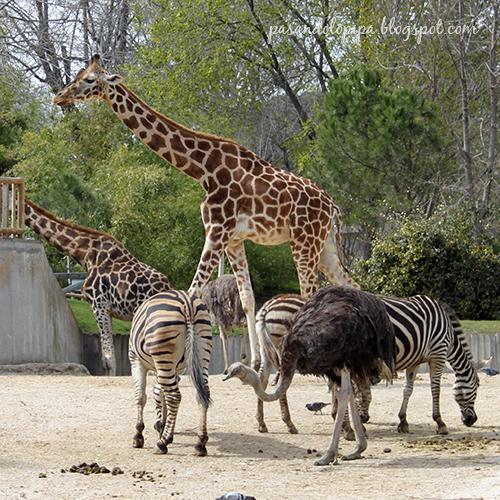 pasandolopipa : jirafas y cebras del zoo de madrid