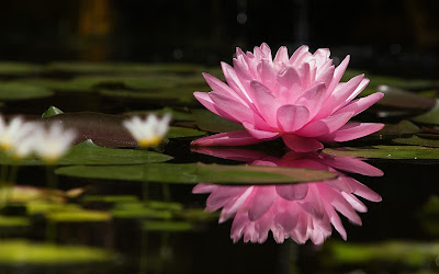 Beautifull Pink Lotus Flower