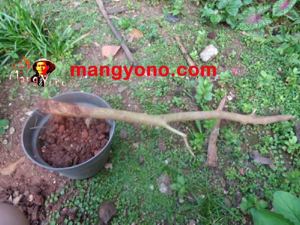 Cara Menanam Bakalan Bonsai Serut (streblus asper)