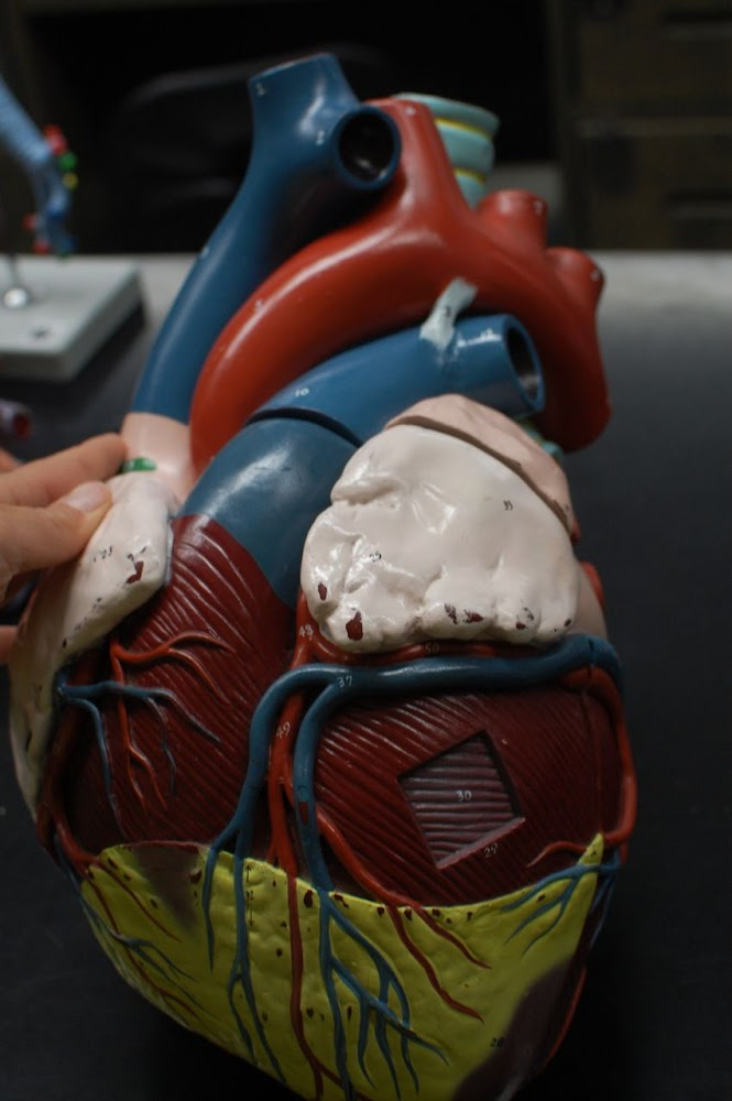 Human Anatomy Lab: Heart Models