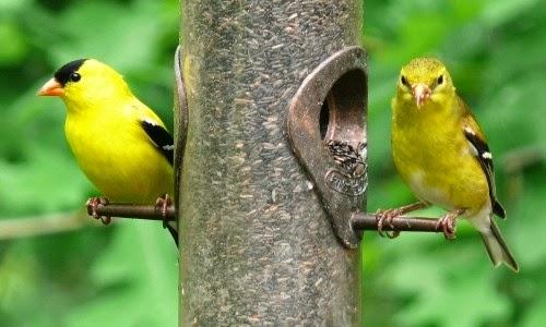 Bagaimana Cara Memulai Usaha atau Bisnis Penangkaran Burung Kenari
