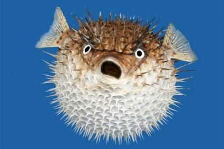 Puffer fish for Blowfish vs puffer fish