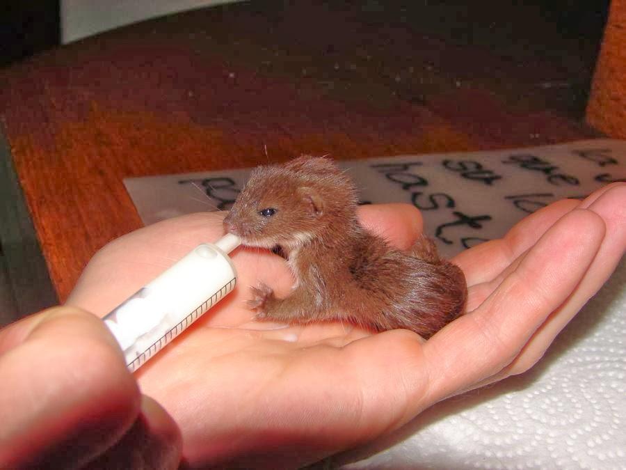 ferret adult size