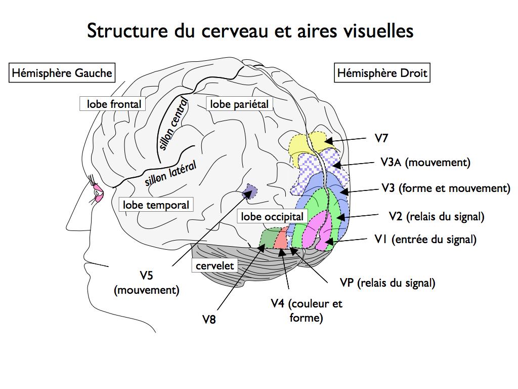 les aires corticales du cerveau pdf