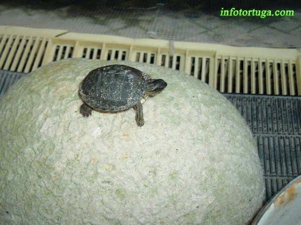 Cría de Rhinoclemmys areolata